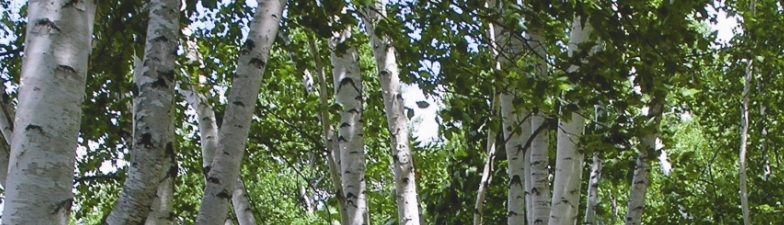 Beautiful White Birches in Maine